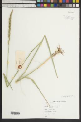 Image of Elymus batalinii