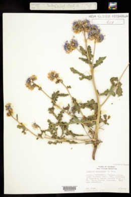 Phacelia crenulata var. corrugata image