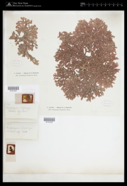 Haloplegma duperreyi image
