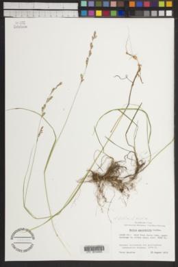 Melica spectabilis image