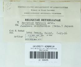 Image of Aecidium bethelii