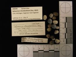 Sphaerium rhomboideum image