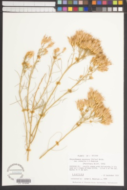 Ericameria nauseosa var. arenaria image