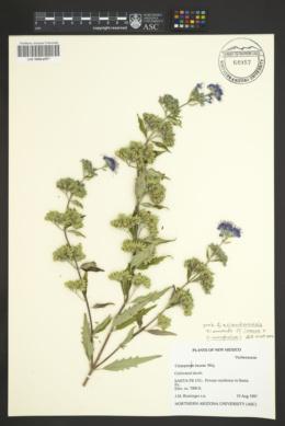 Caryopteris x clandonensis image