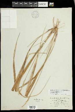 Oryzopsis asperifolia image