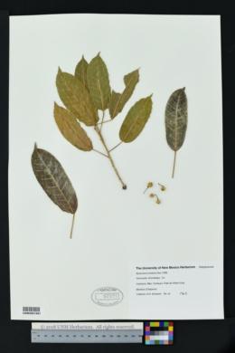 Byrsonima coriacea image