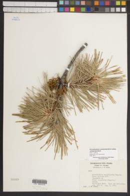 Arceuthobium campylopodum subsp. campylopodium image