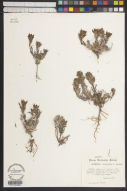 Castilleja salsuginosa image