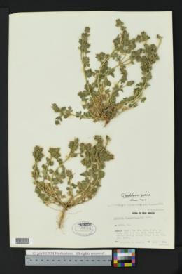Glandularia pumila image