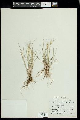 Elymus elymoides image