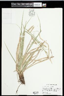 Carex cherokeensis image