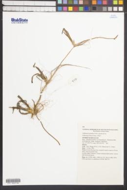 Image of Vallisneria australis