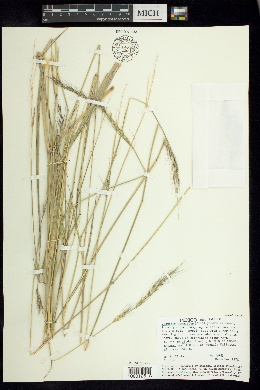Image of Chaetium bromoides
