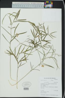 Lathyrus lanszwertii var. leucanthus image