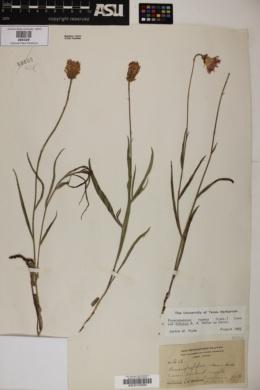 Pinaropappus roseus var. foliosus image
