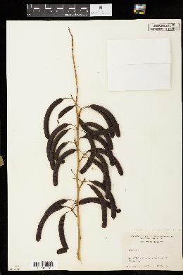 Cassia marilandica image
