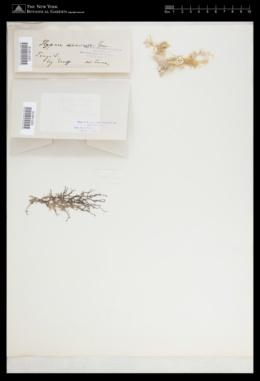 Hypnea divaricata image