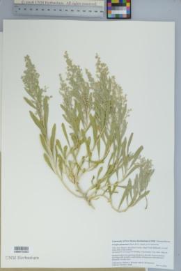 Grayia plummeri image