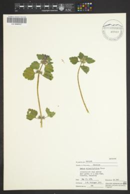 Image of Lamium confertum