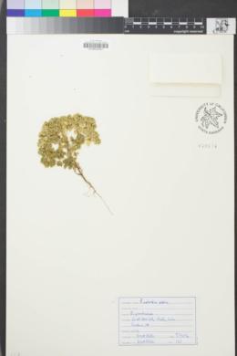 Image of Euphorbia peplus