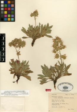 Phacelia hastata subsp. compacta image