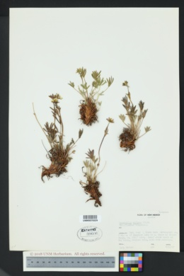 Image of Potentilla biflora