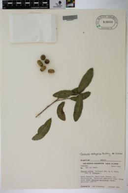 Quercus vaseyana image