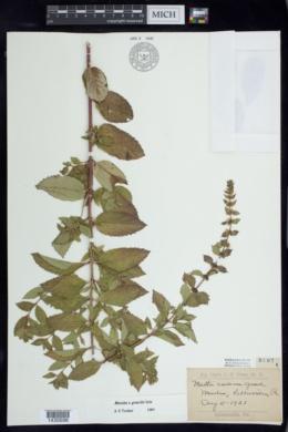Mentha x gracilis image