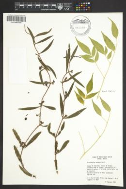 Struthanthus palmeri image