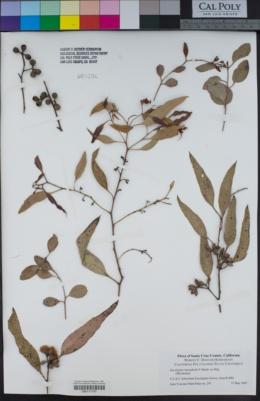 Image of Eucalyptus foecunda