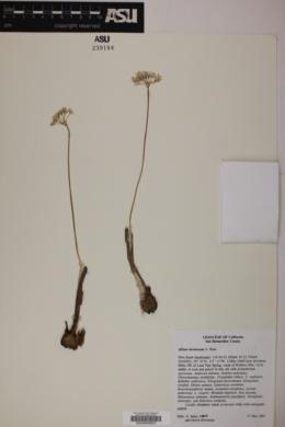 Allium lacunosum image
