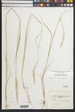 Elymus trachycaulus subsp. trachycaulus image