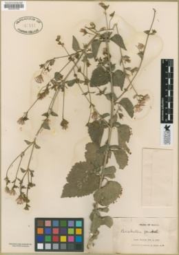 Image of Brickellia pendula