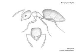 Brachymyrmex depilis image