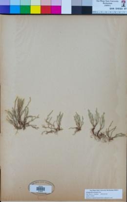 Image of Selaginella arenaria
