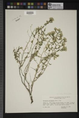 Brickellia microphylla image