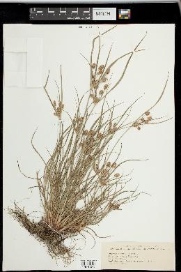 Image of Cyperus torreyi