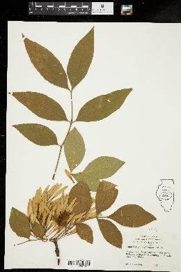 Fraxinus pennsylvanica image