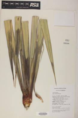 Yucca x schottii image