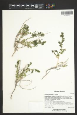 Galium collomiae image