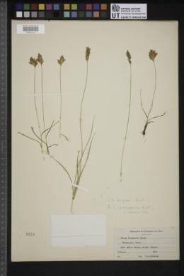 Carex douglasii image
