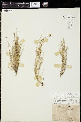 Astragalus serotinus image
