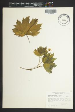 Begonia portillana image