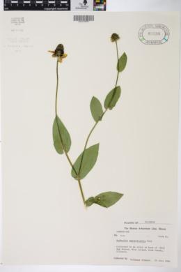 Image of Rudbeckia amplexicaulis