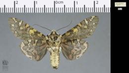 Arachnis picta image