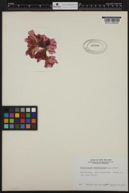 Haraldiophyllum crispatum image