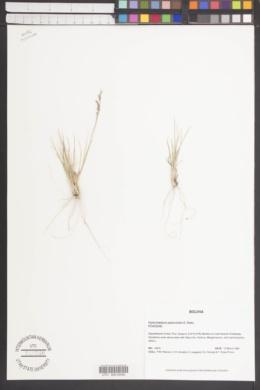 Image of Piptochaetium panicoides