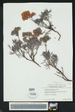 Image of Eriogonum arborescens