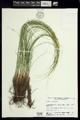 Image of Carex longissima