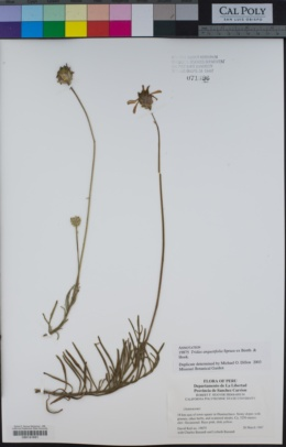 Image of Tridax angustifolia